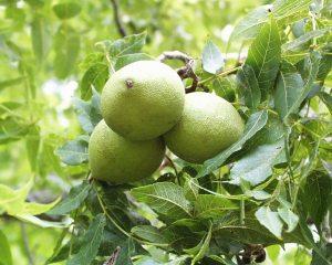 walnutblack