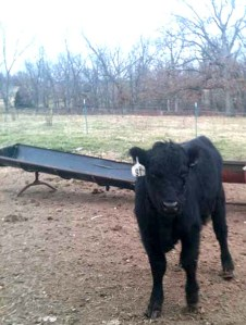 The calf I (lovingly) call Crop Ear. She has apparently been through it and she is still as sweet as (a calf) can be.