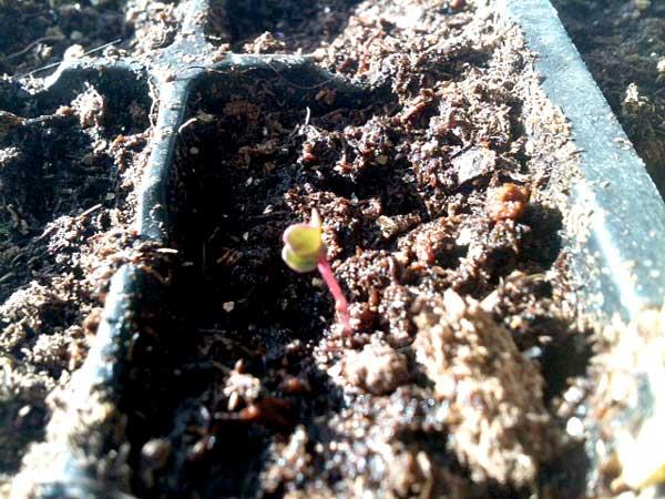 Little cauliflower sprout