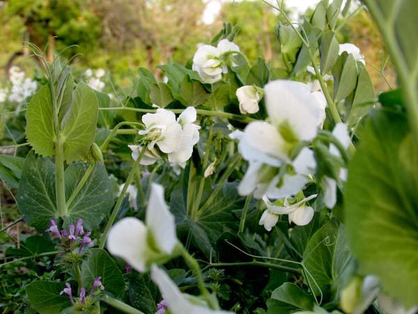 Even peas are beautiful in springtime.