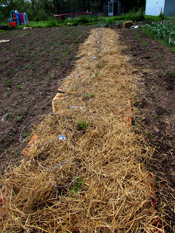 "Tomatoes ""mulched"" with feed sack/newspapers topped with straw."